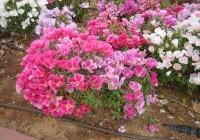 טיפול נכון בפרחים בחודשי הקיץ